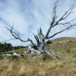 Monument to a careless hiker tree, burnt tree el chalten
